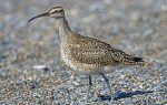 Whimbrel. 1 October 2020, Rondeau Provincial Park, Municipality of Chatham-Kent.