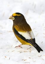 Evening Grosbeak. 18 November 2018, St. Andrews West, Cornwall, United Counties of Stormont, Dundas and Glengarry.