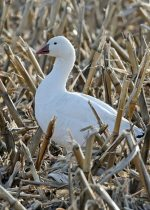 Snow Goose. 21 March 2020, Landcaster, United Counties of Stormont, Dundas and Glengarry.