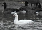 Ross's Goose. 2 January 2017, Caledonia, Haldimand Co.