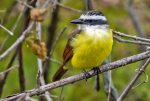 Great Kiskadee. 24 October 2018, Marsh Trail, Rondeau Provincial Park, Municipality of Chatham-Kent.