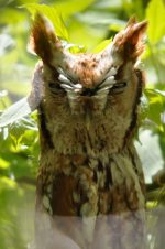 Eastern Screech-Owl. 20 May 2020, Rondeau Provincial Park, Municipality of Chatham-Kent.
