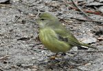 Orange-crowned Warbler. 23 January 2017, LaSalle Park, Burlington, Halton Region.