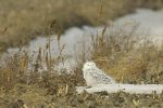 Snowy Owl. 31 December 2016, St. Clair NWA, Municipality of Chatham-Kent.
