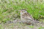 Clay-colored Sparrow. 22 May 2020, Rondeau Provincial Park, Municipality of Chatham-Kent.