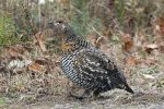 Spruce Grouse. 21 October 2018, Algonquin Provincial Park, Opeongo Road.