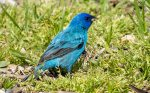 Indigo Bunting. 24 May 2020, Erieau, Municipality of Chatham-Kent.