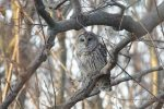 Barred Owl. 16 December 2018, Rondeau Provincial Park, Municipality of Chatham-Kent.