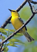 Blue-winged Warbler. 26 May 2020, Murphy's Point Provincial Park, Rideau Lakes, Perth, Lanark Co.