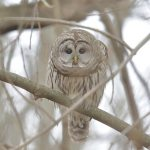 Barred Owl. 5 January 2019, Rondeau Provincial Park, Municipality of Chatham-Kent.