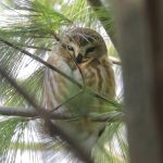 Northern Saw-whet Owl. 8 December 2018, Bannerstone Conservation Lands, Morpeth, Municipality of Chatham-Kent.