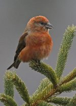 Red Crossbill. 5 March 2018, Algonquin Provincial Park.