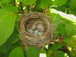 1 Cowbird egg in Yellow Warbler's nest.