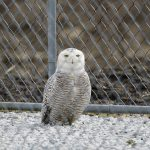 Snowy Owl. 30 March 2018, Dover Township, Mitchell's Bay, Municipality of Chatham-Kent.