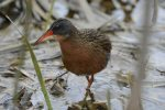 Virginia Rail. 11 May 2017, Luther Marsh, Dufferin County,.