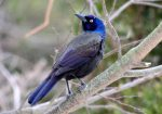 Common Grackle. 21 December 2016, Monarch Landing, Port Burwell, Municipality of Bayham, Elgin Co.