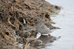 Purple Sandpiper. 13 November 2017, Kettle Point, Lambton Co.