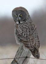 Great Gray Owl. 26 January 2017, Cornwall, United Counties of Stormont, Dundas and Glengarry.