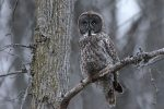 Great Gray Owl. 28 February 2017, Williamsburg, United Counties of Stormont, Dundas and Glengarry.