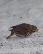 Fox Sparrow. 21 January 2019, Wardsville, Middlesex Co.