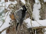 American Three-toed Woodpecker. 6 January 2017, South Porcupine, Cochrane District.