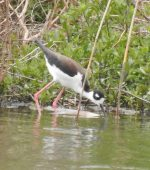 Black-necked Stilt. 2 May 2017, Tilbury Sewage Lagoons, Tilbury, Essex Co.